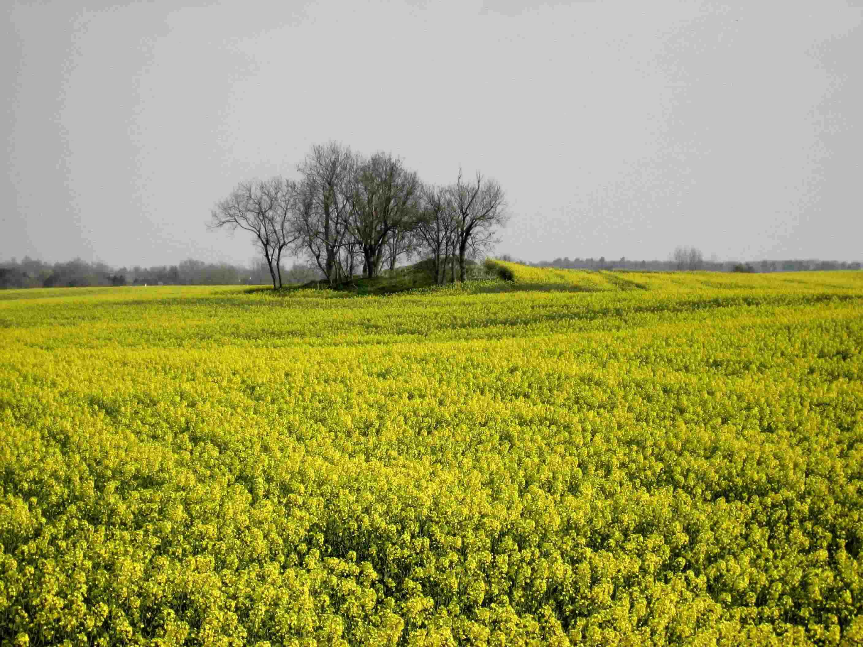 Index Scenic fields of yellow